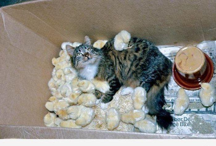 Прикол кот охраняет цыплят